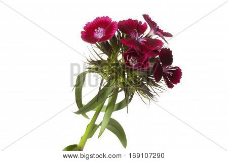 Red Sweet William flower isolated on white background