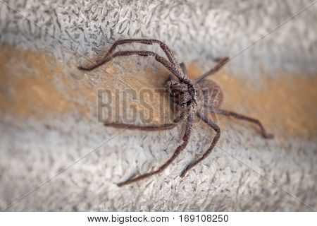 Big Huntsman Spider closeup. Shallow depth of field