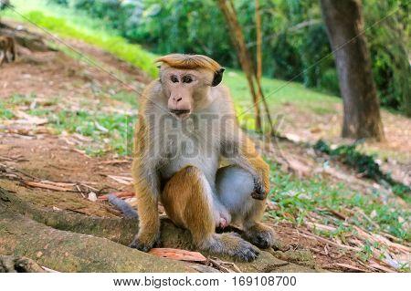 Photograph of Sri-Lankan toque macaque or Macaca sinica
