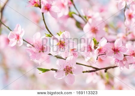 Beautiful spring background pink flower blossom on a cherry tree on a soft dreamy sun light
