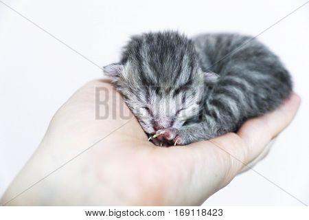 Newborn kittens striped. Blind kittens British, Scottish cat
