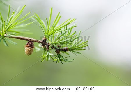 Fir branch with fresh green needles small fir-cone. spring time nature landscape, sunny day. green energy, eco concept. soft focus, shallow depth field