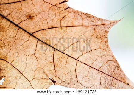 Autumnal leaf design background. Yellow, orange, brown color. transparent maple leaf. textured pattern aging plant. Abstract. toned photo, retro colors. Copy space, macro view photo
