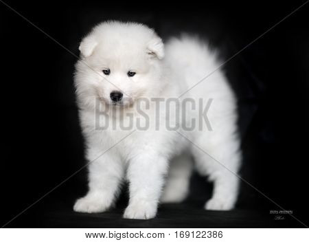 White Samoyed puppy on a black background