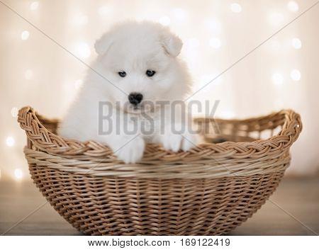 White Samoyed puppy sitting in a yellow basket