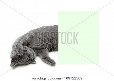 beautiful kitten lies near a banner on a white background. horizontal photo.