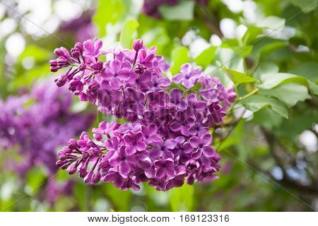 Branch of lilac flowers with green leaves background, soft focus. shallow depth field