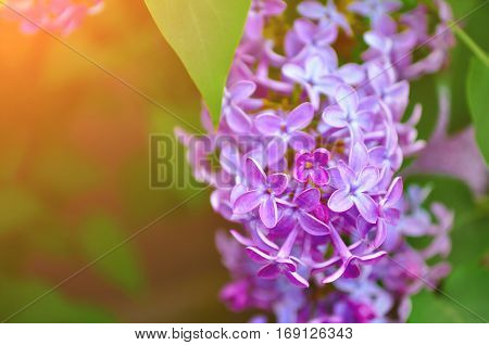 Lilac flowers in spring blossom under soft sunlight- natural spring flowers background. Spring flowers closeup - spring flower background of spring lilac flowers in the garden. Spring flowers