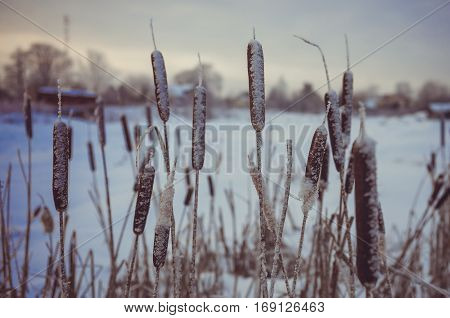 Winter landscape in Russia. Cattail in a swamp near the village. LOMO effect