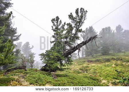 Siberian pine. Live regrown and became strong branches and dry dead tree trunk. Dense fog in mountainous woodlands. Eastern Siberia. Russia