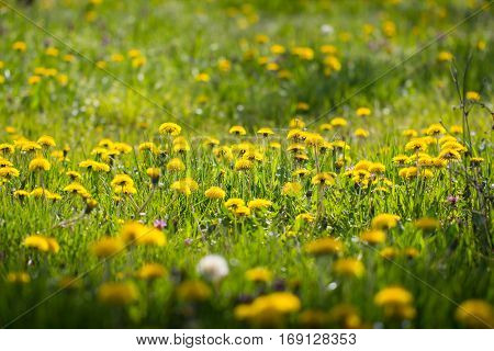 Beautiful sunny spring meadow full of yellow dandelion flower blossom and green grass as a nature background