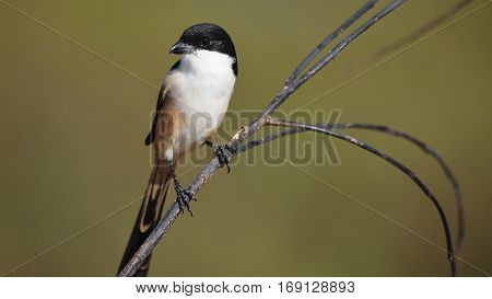 Bird (Long-tailed Shrike) in nature , Thailand