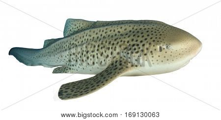 Leopard Shark isolated. Shark on white background. Leopard Shark is also known as Zebra Shark