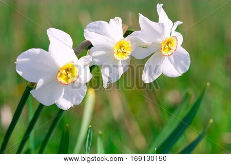 Beautiful white narcissus flower on a green spring meadow full of sunlight