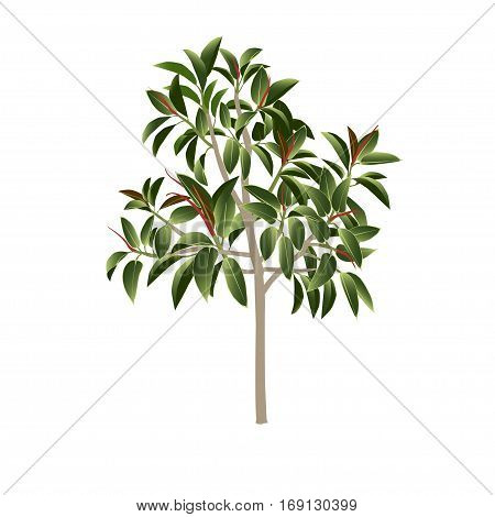 Ficus tree (pipal rubber plant fig) in color