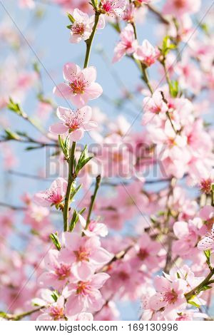 Beauty of pink soft flower on spring cherry tree branch nature outdoors close up background