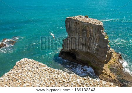 Muriwai Gannet Colony, Muriwai Regional Park, West Coast of the North Island in Auckland,New Zealand