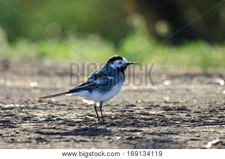 Wagtail bird on a shore of a river in a shinny summer morning