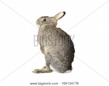 Taxidermy stuffed Rabbit isolated on white background