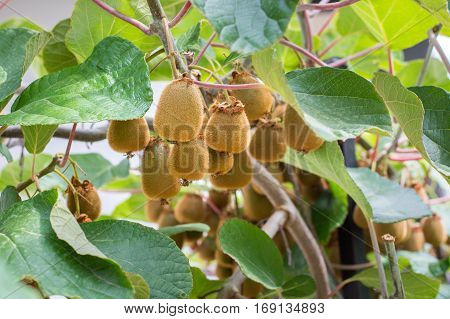 Fresh Kiwi Growing On A Tree