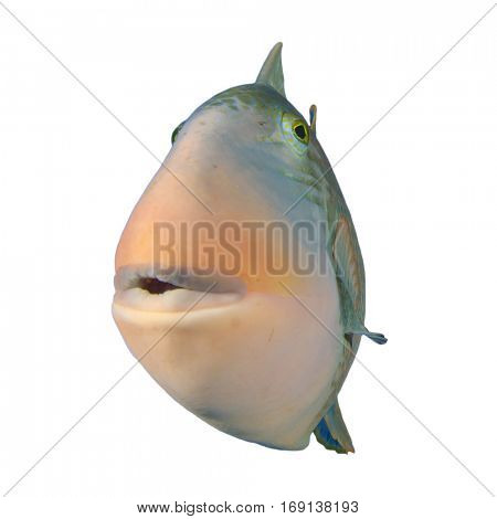 Tropical fish isolated. Yellowmargin Triggerfish on white background