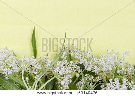 Wild white small inflorescence flowers and lush green leaves on pale yellow textured background