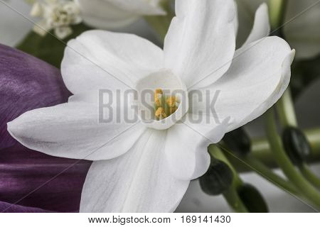 Closeup on white fragile narcissus with flowers and greenery on background