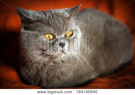 Gray cat with yellow eyes, Scottish Straight breed