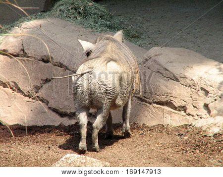 The back side of a warthog facing rocks
