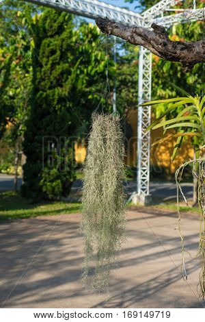 Spanish moss hang on tree show nature concept