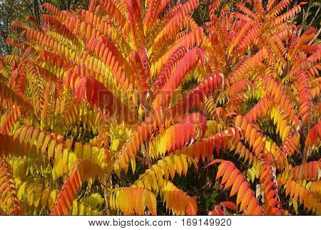 Colorful vibrant leaves on a sumac plant during the autumn season
