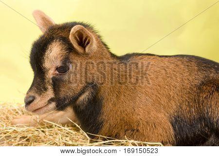 Ten days old little brown baby dwarf goat