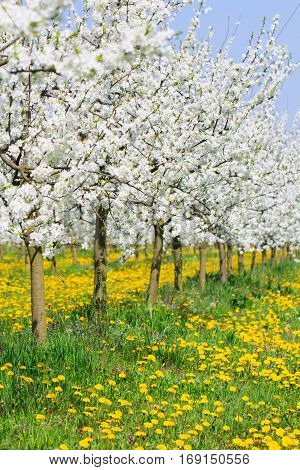 Spring in beautiful bud flower orchard tree blossom and green and yellow dandelion meadow