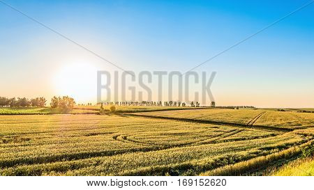 Rye field in the golden rays of low sun. Agricultural landscape in backlit sunlight.