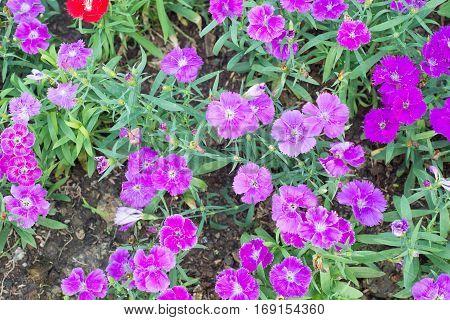 Dianthus flower in garden show nature concept