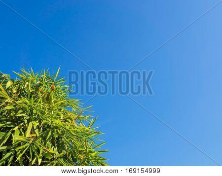 Bamboo Tree On Blue Sky.