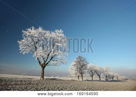 Winter tree on a sunny morning. Poland