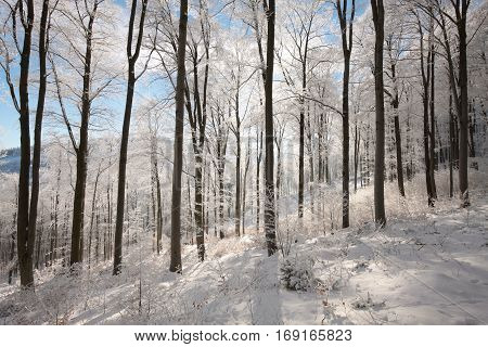 Winter forest on a sunny morning. Poland.