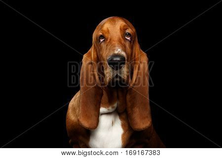 Portrait of Pitiful Basset Hound Dog on Isolated black background, front view