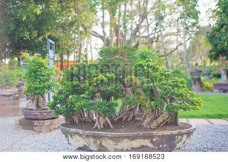 Bonsai tree in garden show nature concept