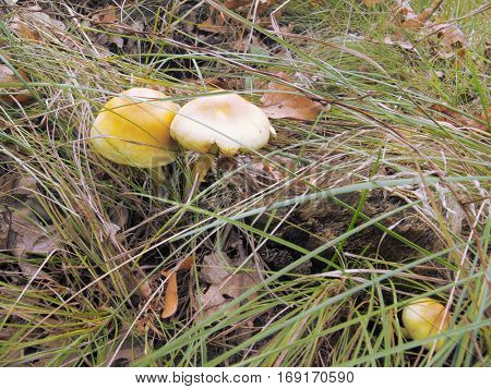 three yellow poisonous fungus very similar to edible mushrooms