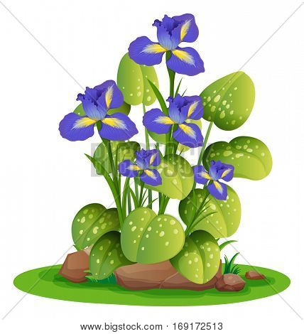 Purple irish flowersin the bush illustration