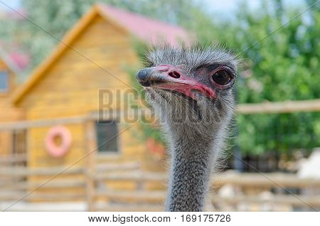 An ostrich in the zoo. Ostrich bird.