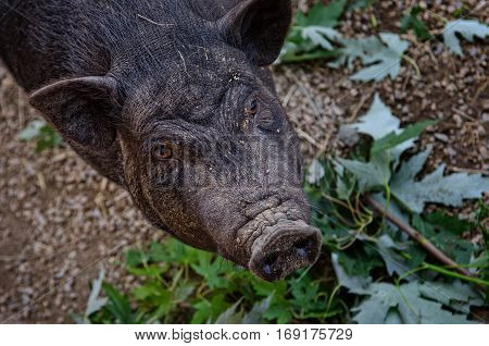 A black wild boar in the zoo.