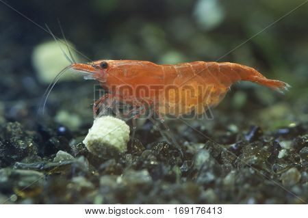 Female red sherry shrimp carring eggs and eating