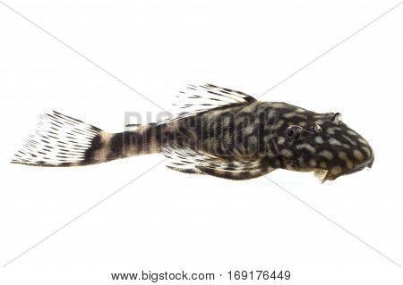 Female Ancistrus claro catfish isolated on white background
