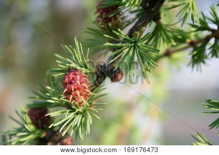 pine tree flowers which grow from buds