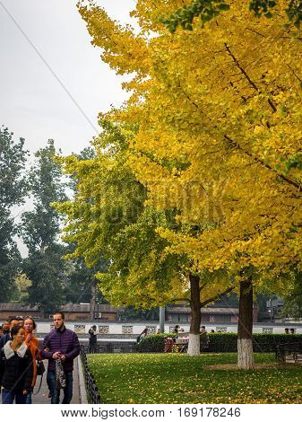 Beijing, China - Oct 30, 2016: Vibrant yellow Gingko leaves at park. Scores of visitors line Donghuamen Road, just outside the walls to the Forbidden City (Gu Gong, Palace Museum).