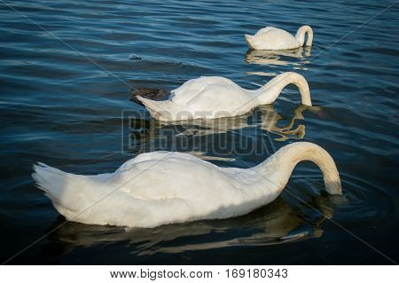 Three swans catch the food in the lake.