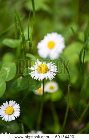 Beautiful camomile flowers in the amazing spring